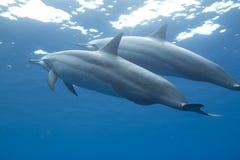 обтекатель втулки hawaiian дельфина Стоковая Фотография