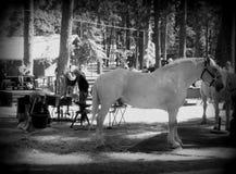 Обувать старую серую лошадь на классике лошади проекта стоковые фотографии rf