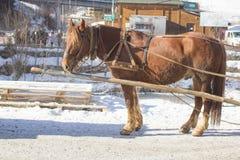 Обузданная красная лошадь в улице для carting Стоковое Изображение RF