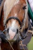 обузданная лошадь Стоковые Фотографии RF