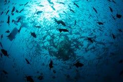 Обучать рыб и акул в Фиджи Стоковое Фото