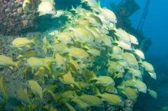 Обучать рыб на развалине в Key West Стоковая Фотография