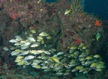Обучать рыб на рифе в южной Флориде Стоковые Фотографии RF