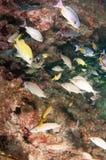 Обучать рыб на рифе в южной Флориде Стоковая Фотография