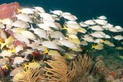 Обучать рыб на рифе в южной Флориде Стоковое фото RF