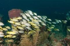 Обучать рыб на рифе в южной Флориде Стоковое Фото