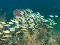 Обучать рыб на рифе в южной Флориде Стоковые Фото