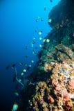 Обучать рыб над kapoposang Индонезией водолаза скубы коралла Стоковое фото RF