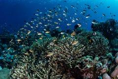 Обучать рыб рифа в радже Ampat Стоковое фото RF