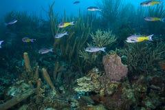 Обучать тропических рыб, Бонайре Стоковая Фотография RF