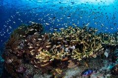 Обучать тропических рыб в радже Ampat Стоковая Фотография RF