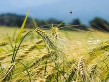 Обхватыванный конец-вверх пшеницы. стоковое изображение rf