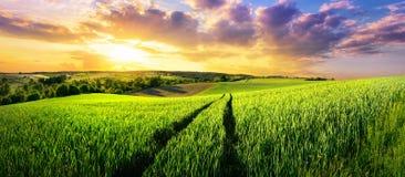 Обширное зеленое поле на шикарном заходе солнца стоковые фотографии rf