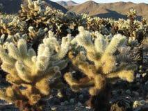 Обширное поле кактуса cholla плюшевого медвежонка сверкая в солнце позднего вечера Стоковые Изображения