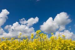 Обширные поля маргариток и цветя мустарда в России Стоковые Изображения RF