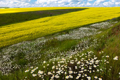 Обширные поля маргариток и цветя мустарда в России стоковая фотография