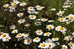 Обширные поля маргариток и цветя мустарда в России стоковые фото