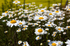 Обширные поля маргариток и цветя мустарда в России стоковое изображение