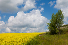 Обширные поля маргариток и цветя мустарда в России стоковое изображение rf
