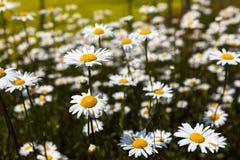 Обширные поля маргариток и цветя мустарда в России стоковые изображения