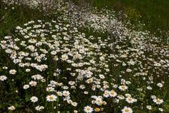 Обширные поля маргариток и цветя мустарда в России Стоковые Фотографии RF