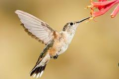 обширный замкнутый hummingbird Стоковые Фотографии RF