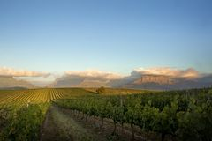 Обширный, пропуская виноградник в золотом свете после полудня стоковые изображения rf