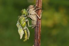 Обширный уплотненный Dragonfly истребителя & x28; Depressa& x29 Libellula; стоковая фотография