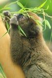Обширн-обнюханный нежный лемур Стоковая Фотография