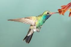 Обширн-представленный счет колибри Стоковое Фото