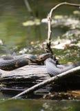 Обширн-соединенная змейка воды на журнале Стоковые Фото