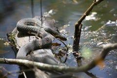 Обширн-соединенная змейка воды Slithering в воду Стоковые Фото