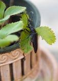 Обширн-necked сверло корня Стоковые Изображения RF