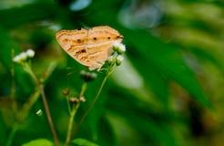 Общая бабочка глаза самца оленя, трава цветка ageratum стоковые фотографии rf