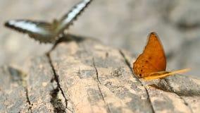 Общая бабочка леопарда при бабочка клипера отдыхая на древесине акции видеоматериалы