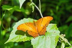 Общая бабочка крейсера Стоковое Изображение RF