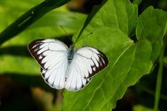 Общая бабочка чайки Стоковое Изображение RF
