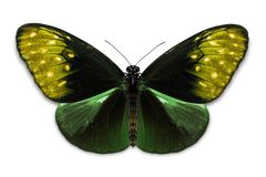 Общая бабочка ядра Euploea вороны Стоковые Фото