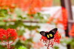Общая бабочка Birdwing, Флорида Стоковое Изображение RF