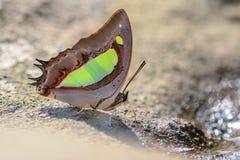 Общая бабочка Nawab стоковые фото