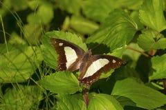 Общая бабочка Nawab, athamas athamas Charaxes, Satakha Стоковые Изображения RF