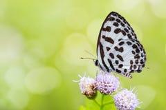 Общая бабочка Pierrot Стоковое Фото