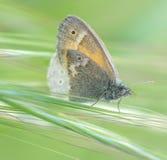 Общая бабочка Ringlet в луге Стоковая Фотография