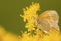 Общая бабочка ringlet на goldenrod цветках в Sunapee, новом Ha стоковое фото