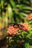 Общая бабочка Troides helena Birdwing стоковая фотография rf