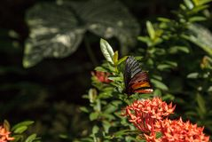 Общая бабочка Troides helena Birdwing стоковая фотография