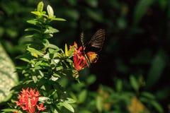 Общая бабочка Troides helena Birdwing стоковое фото rf