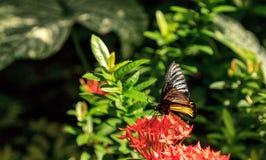 Общая бабочка Troides helena Birdwing стоковое изображение