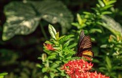 Общая бабочка Troides helena Birdwing стоковые фотографии rf