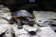 Общая водяная черепаха реки Стоковое Изображение RF